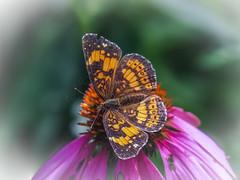 Silvery Crescentspot (Shannonsong) Tags: silverycrescentspot butterfly coneflower mariposa garden summer charidryasnycteis nature macro lepidoptera