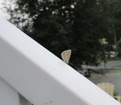 ** Mini ** (Impatience_1) Tags: papillon butterfly mini insecte insect clôture fence m impatience rampe azuré supershot coth coth5 abigfave
