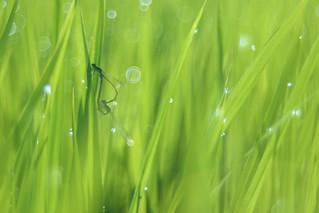 OMD09400 Rice Field