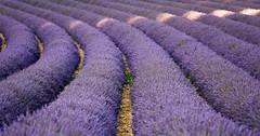 Francia-Provenza-2018-135 (gigifotodoc) Tags: 2018 francia provenza vacanze fiorir lavanda paesaggio valensole provencealpescôtedazur