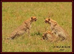 FEMALE CHEETAH WITH HER CUBS (Acinonyx jubatus).....MASAI MARA....SEPT 2017. (M Z Malik) Tags: nikon d3x 200400mm14afs kenya africa safari wildlife masaimara keekoroklodge exoticafricanwildlife exoticafricancats flickrbigcats cheetahfamily acinonyxjubatus cats ngc npc