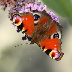 Peacock (Treflyn) Tags: peacock butterfly buddleia felinwynt ceredigion wales
