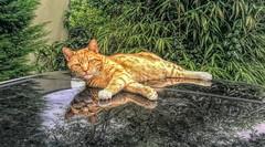 Cat on the roof (gill4kleuren - 17 ml views) Tags: pussy puss poes chat mieze katje gato gata gatto cat pet animal kitty kat pussycat poezen