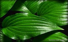 (Fotofan4life) Tags: hosta perennial topazadjust flowergarden hostaleatherbacksheen kitchenerontario smc pentaxa 3570