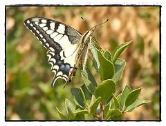 Machaon (eva Landes) Tags: papillon butterfly