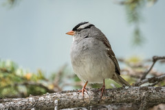 White-crowned Sparrow 501_1638.jpg (Mobile Lynn) Tags: whitecrownedsparrow birds sparrow nature bird fauna oscines passeri passeridae passeriformes songbird songbirds wildlife zonotrichialeucophrys lakelouise alberta canada ca