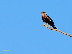 Milano negro (Milvus migrans)  (13) (eb3alfmiguel) Tags: aves rapaces carroñeros milano negro hierba pájaro