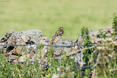 Little Owl (Athene noctua) (Hoppy1951) Tags: tonkenfig bridgend gbr wales uk kenfig national nature reserve sker farm allanhopkins hoppy1951 littleowl athenenoctua
