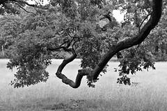 Quercus robur (just.Luc) Tags: nature natuur gaia bn nb zw monochroom monotone monochrome bw tree boom arbre baum parc park potsdam brandenburg allemagne deutschland duitsland germany europa europe árbol albero