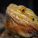 Captive Bearded Dragon