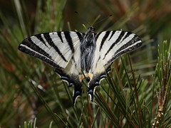 Podalirio (iphiclides podalirius) (Paolo Bertini) Tags: farfalla butterfly verona monte san marco caprino veronese podalirio iphiclides podalirius