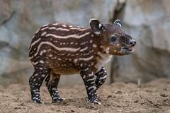 2-Month-Old Don Tapir (San Diego Zoo Global) Tags: baby babyanimals babyanimal cute adorable animal animals cuteanimals bairdstapir tapir tapirs endangeredspecies sandiego sandiegozoo nature wildlife centralamericantapir swim endangered endextinction