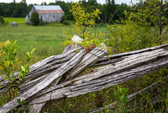 Tangled on the Split Rail  #HFF (maureen.elliott) Tags: happyfencefriday hff fences splitrailfence vines growing rural countryside farm barn ontario landscape