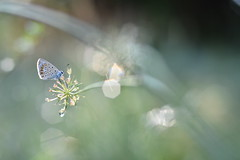 (Leela Channer) Tags: commonblue polyommatusicarus closeup morning bokeh light nature dew sparkle green grass butterfly insect animal