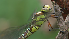 Blue Hawker - Aeshna Cyanea - Panasonic (Visual Stripes) Tags: dragonfly odonata aeshnidae insect invertebrate sigma105mm macro panasoniclumixg1 bokeh