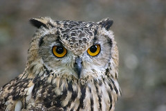 Owl (Glenn Pye) Tags: owl birds bird birdsofprey nature wildlife nikon nikond7200