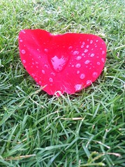 true love is forever (Cindee Bessman) Tags: love palisadespark dewdrops rosepetal heart artofnature petal rose truelove santamonica siliconbeach flowers