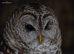 Bramble, Male Barred Owl (JohnS87) Tags: birds british oakham centre falconry owl rutland barredowl