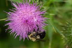 Macro Flowers from 8 August 2018 (photothiel) Tags: flowers weeds flora photography macro sigma 105mm f28 close up bee thistle clover mushroom nikon d750 photothiel