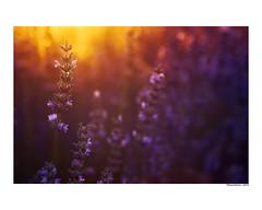(david Ramalleira) Tags: davidramalleira davidramalleiraphotography nikon lavanda nature naturaleza natureart naturephotography naturesfinest naturesart natura flores flower flowers primavera spring