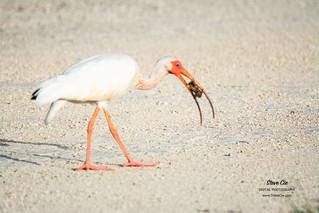 White Ibis & Catfish _DSC3997