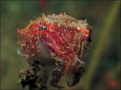 Reaper Cuttlefish (Sepia mestus) (Brian Mayes) Tags: 1980 icebox1 muara brunei cuttlefish reapercuttlefish sepiamestus underwater scuba diving canon g16 canong16 brianmayes