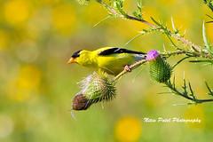 IMG_6548 (nitinpatel2) Tags: bird nature nitinpatel