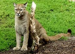 Puma concolor (BrigitteE1) Tags: puma pumaconcolor zooammeer bremerhaven deutschland kleinkatzen raubtier katzenartige katzen silberlöwe berglöwe kuguar cougar couguar specanimal