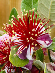 Daylight Fireworks (Steve Taylor (Photography)) Tags: feijoa brown green red yellow white macro closeup newzealand nz southisland canterbury christchurch northnewbrighton blossom flower