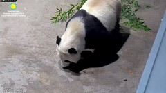 2018_08-15d (gkoo19681) Tags: beibei chubbycubby fuzzywuzzy adorableears treattime yummybiscuit goodboy delicious toocute adorable precious contentment darling ccncby nationalzoo