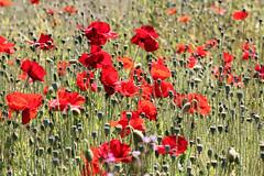 Field of red (explored) (Robin Bain) Tags: robinbain poppy poppies