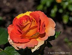 "The Rose (jimgspokane) Tags: roses flowers duncangarden rosehill spokanewashingtonstate naturewatcher ""nikonflickraward"""