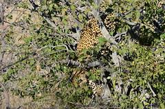 DSC_5594 (Andrew Nakamura) Tags: namibia africa chameleonsafaris etosha etoshanationalpark animal wildlife mammal bigcat felid felidae leopard africanleopard upatree