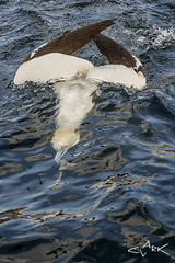 Diving Gannet (Mike Clark 100) Tags: mikeclark wildlife bird diving gannets gannet firth forth bass rock north berwick scotland hunting fish dive diver