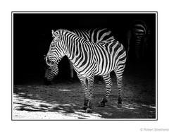Step Into the Light (Robert Streithorst) Tags: cincinnatizoo hoofed mono robertstreithorst zebra zoosofnorthamerica