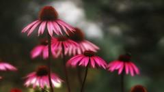 *** (pszcz9) Tags: przyroda nature natura naturaleza kwiat flower zbliżenie closeup ogród garden ogródnarozstajach beautifulearth sony a77 lato summer bokeh