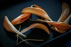 Lily's end (IngeHG) Tags: thenetherlands home bouquet flowers lilies orange petals fallen ending stamens inexplore explored