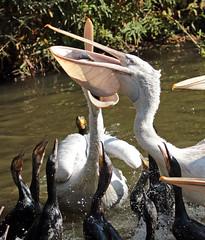 dalmation pelican JN6A6130 (j.a.kok) Tags: vogel bird blijdorp pelikaan pelican dalmationpelican