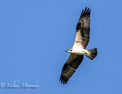 Osprey (mayekarulhas) Tags: bird avian johnheinznaturereserve philadelphia pennsylvania canon canon7dll osprey