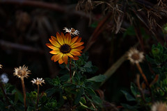 Test 3 18-200mm Sigma (roanfourie) Tags: 18200mmdcmacro experiment green brown bokeh dof light day outdoors photography nikon d3400 sigma 18200mm dc macro os hsm f3563 contemporary dslr raw gimp flickr southafrica africa westrand randfontein coldmonths winter august 2018 august042018 flowers flower plant plants