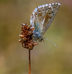 DSC9525  Chalkhill Blue.. (jefflack Wildlife&Nature) Tags: chalkhill chalkhillblue butterflies butterfly lepidoptera insects insect wildlife countryside copse glades grasslands heathland heaths heathlands meadows wildlifephotography jefflackphotography macro nature somerset