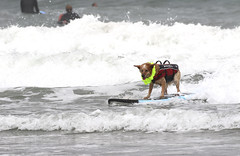 World Dog Surfing Championships 2018 (evie22) Tags: worlddogsurfingchampionships worlddogsurfingchampionships2018 dogs canines animals surfing beach water thepacific pacifica california surf surfculture dogsurfing fun funny crowd surfboard waves sun clouds pooch pooches outdoors championships competition silly cool sport sports outdoor canon canon7dmarkii canoncanonef100400mmf4556lisiiusmlens canonpowershotsx620 wave