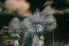 Yucca aloifolia, infra-red photograph (tanetahi) Tags: yucca yuccafilifera agavoideae brisbanebotanicgardens ir infrared hoya filter r72 tanetahi