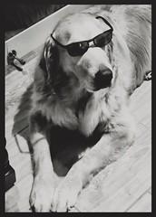 Just chillin' (Karon Elliott Edleson) Tags: blackandwhite 7dwf thursdaysblackandwhite monotone cellphoneshot atticus chiiling fostergrants iphone8 goldenretriever canine dog retriever