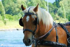 Portrait de Cheval de trait (Jean-Daniel David) Tags: animal ferme cheval chevaldetrait grosplan portrait lathièle rivière yverdonlesbains suisse suisseromande vaud lac lacdeneuchâtel crinière fabuleuse