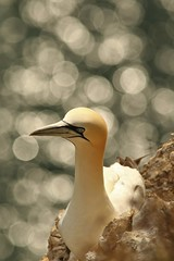 Sitting Pretty (Derbyshire Harrier) Tags: gannet 2018 august summer bempton bemptoncliffs morusbassanus bokeh sunrise dawn eastyorkshire yorkshire chalk rspb