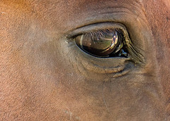 "CC Week 32 The ""Eyes"" have it (fizzybeth) Tags: horse"