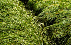 'The grass is always greener ... ' (Canadapt) Tags: grass pattern texture graphic river skeena canadapt