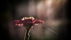 Él se fijó en sus flores y no en sus raíces, y cuando llegó el otoño, no supo qué hacer. (elena m.d.) Tags: contraluz 2018 nikon d5600 sigma sigma105 flower macromondays new elena