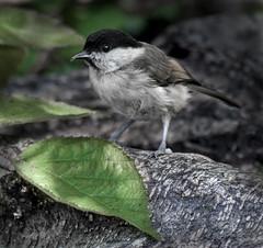 Marsh Tit (maggie.henfield) Tags: marshtit bird leightonmoss rspb